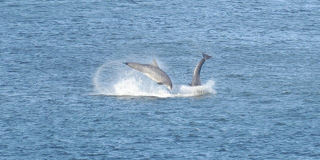 dolphins-in-aberdeen-harbour