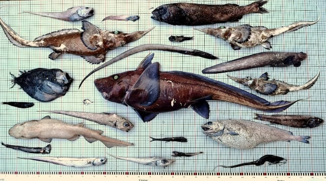 Fish assemblage from 1800m depth - Blog