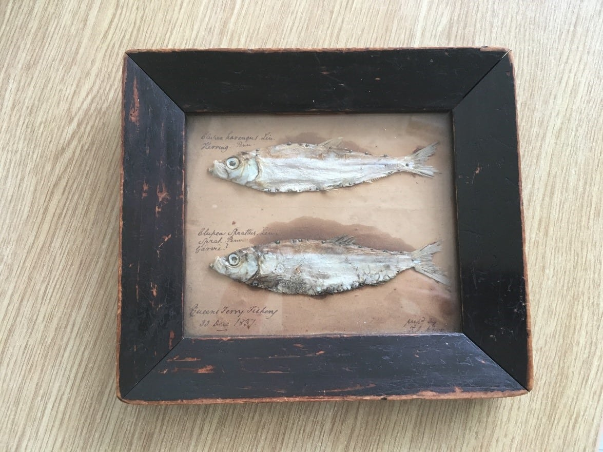 Mummified sprat and herring from Queens Ferry Fishery, 30 December 1837