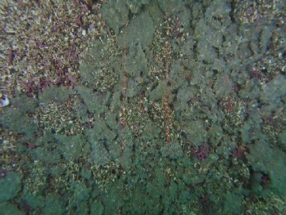 Mat of herring spawn