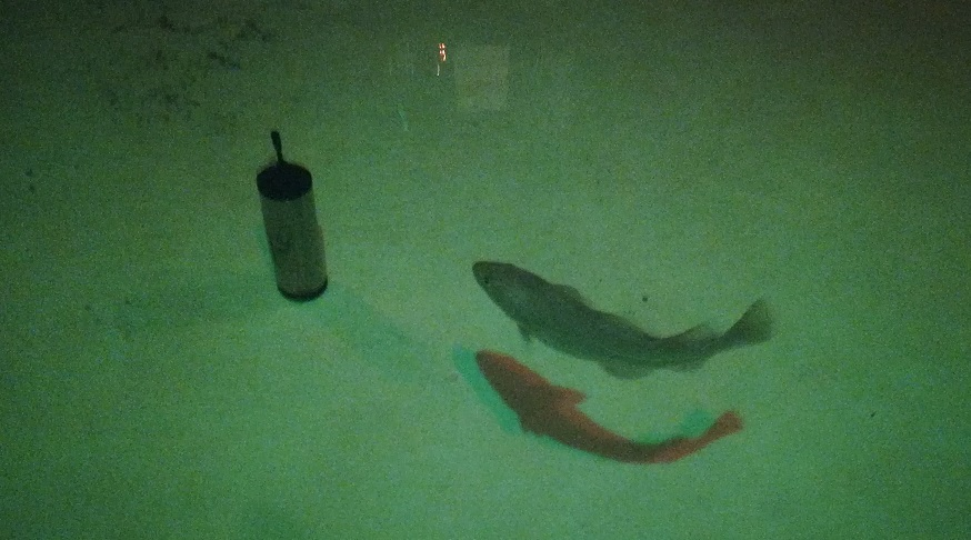 Fish trials - cod and acoustic device