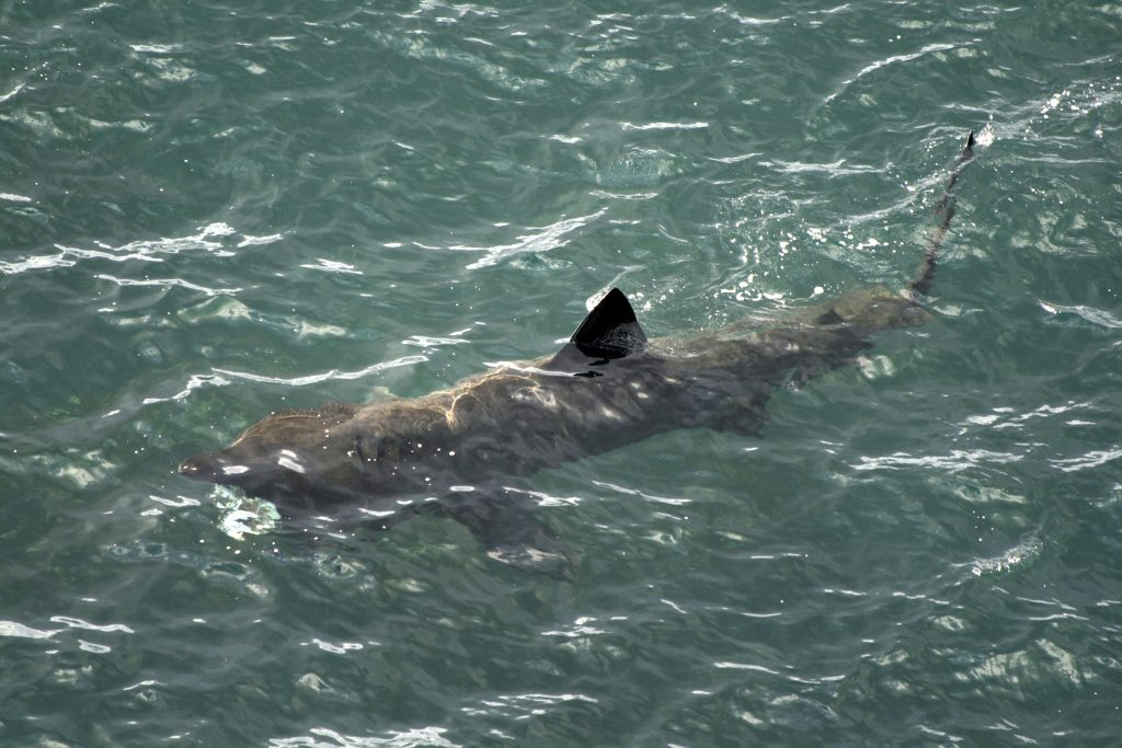 Picture showing basking shark. IStock Copyright
