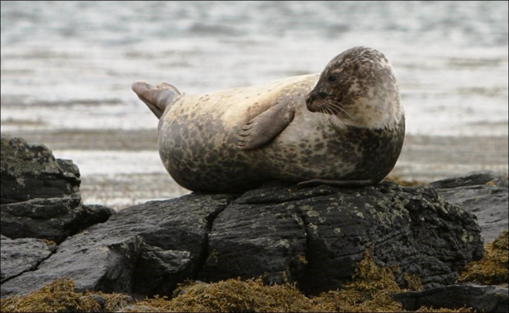Picture showing seal resting on rocks. Crown copyright.