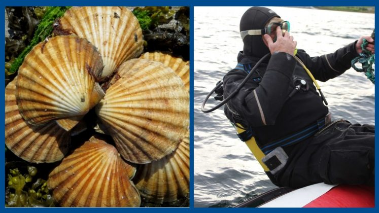 Scallops by Alison Oakes. Diving by Ben Oakes
