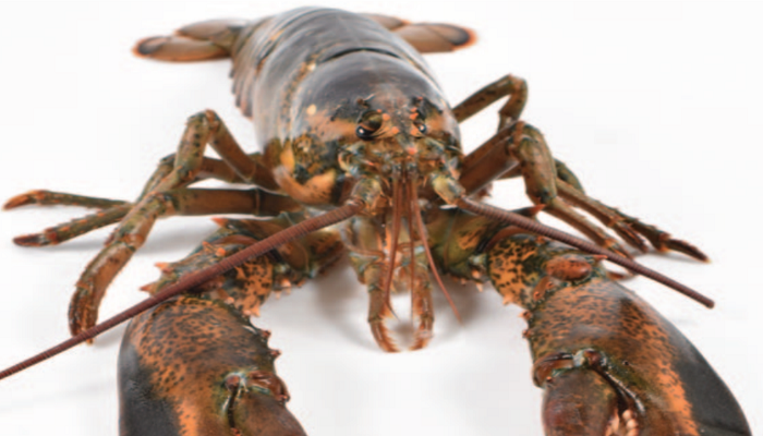 American lobster front view