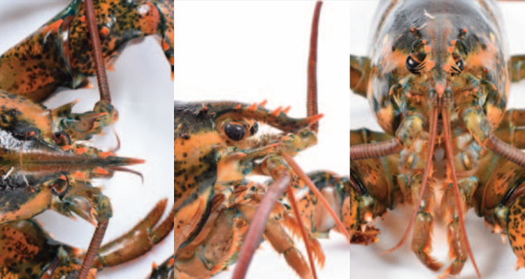 Showing three different views of American lobster