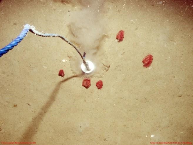 Pennatula phosphorea, phosphorescent sea pens. Crown copyight