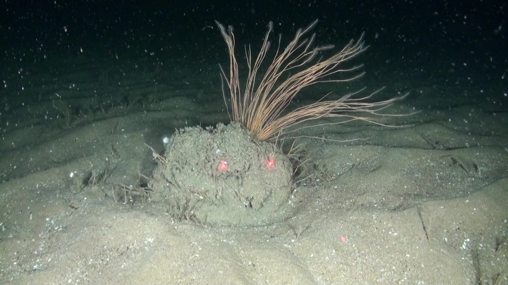 New sub-type of Sabellaria spinulosa habitat discovered off Aberdeenshire. Picture courtesy of Oceana
