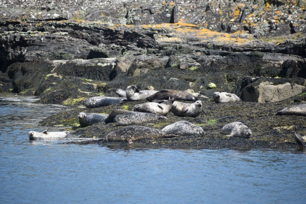 Colony of harbour seals in Millport Bay - Picture courtesy of Jack Lucas. Crown Copyright