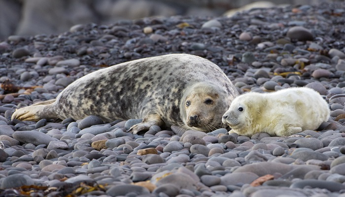 Grey seal cow and pup. ©Lorne Gill/NatureScot