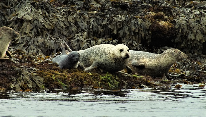 Harbour seal and pup_picture taken by Jack Lucas. Crown copyright.