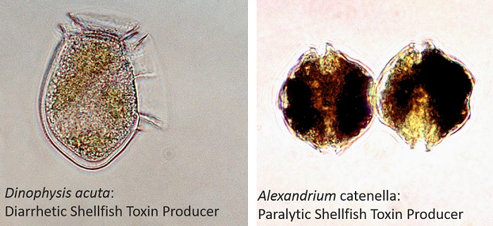 Two shellfish toxin producing phytoplankton species recorded in Scottish coastal waters