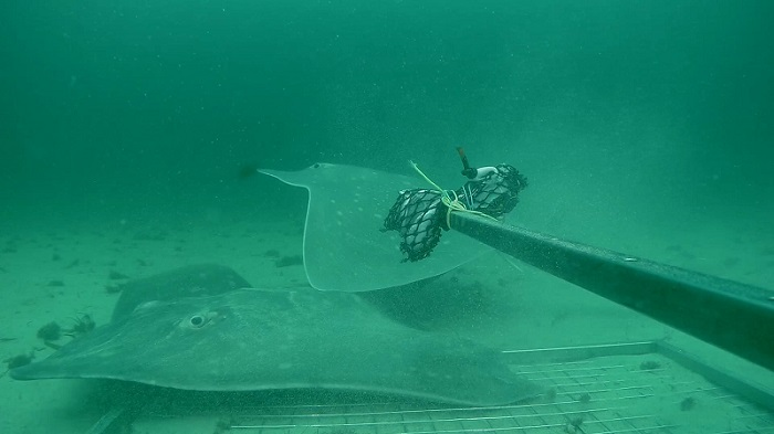 Flapper skate attracted to bait camera