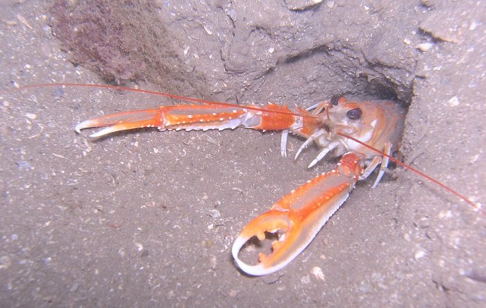 Nephrops at burrow opening - Crown copyright