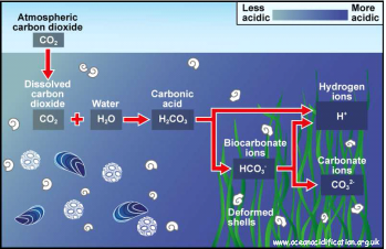 Schematic of potential impacts of OA on marine organisms