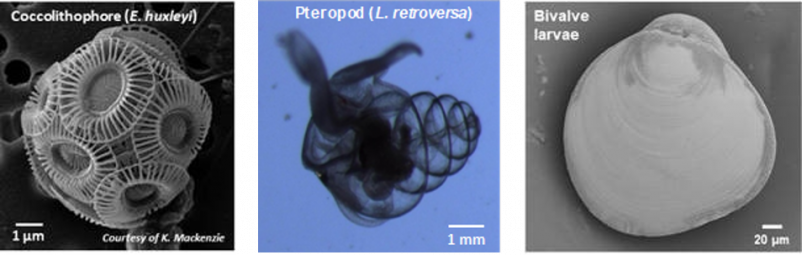 Figure 2 Examples of calcifying plankton monitored in Scottish waters - coccolithophore, pteropod and bivalve larvae
