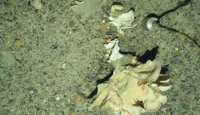 Photo-A-image-showing-sponges-brittle-stars-crustaceans